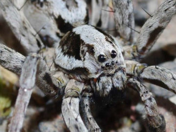 Hallan enorme y mortal araña considerada extinta hace más de 25 años