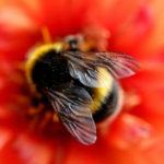 Captan por primera vez a abejas alimentándose durante la noche