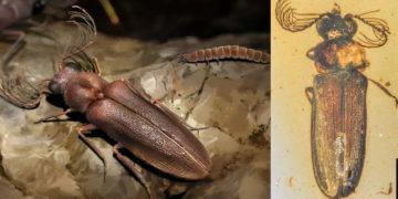 Hallan un escarabajo bioluminiscente de 99 millones de años fosilizado en ámbar