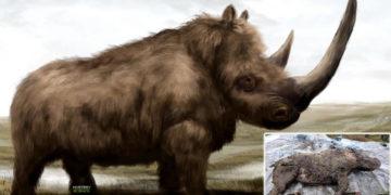 Hallan un rinoceronte lanudo de la era glacial con sus «órganos intactos»