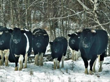 Vacas de la zona de exclusión de Chernóbil adoptan un extraño comportamiento