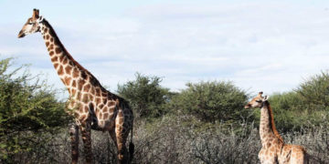 Aparecen por primera vez dos jirafas enanas en África