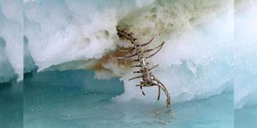 Encuentran misterioso esqueleto en un iceberg derretido