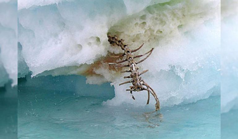 Misterioso esqueleto emerge de un iceberg derretido