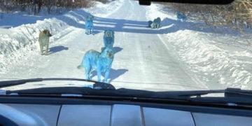 Aparecen perros con pelaje de color azul brillante en Rusia