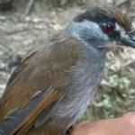 Reaparece un ave que se creyó extinta por más de 170 años