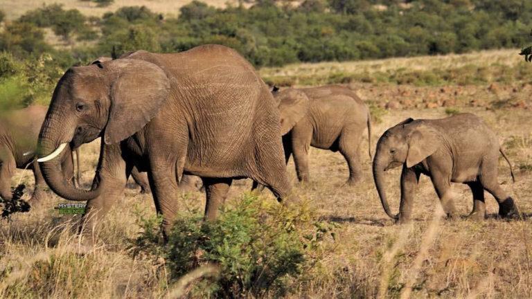Presunto cazador furtivo muere pisoteado por elefantes