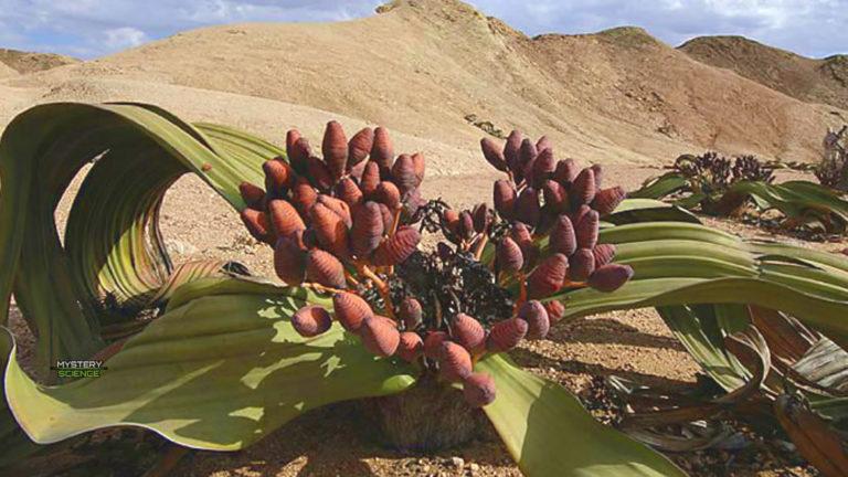 La planta más antigua del planeta que puede vivir durante miles de años