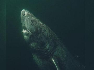 Tiburón nacido hace 400 años sería el animal más longevo del mundo