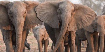 Caza furtiva está causando que los elefantes evolucionen y no desarrollen colmillos